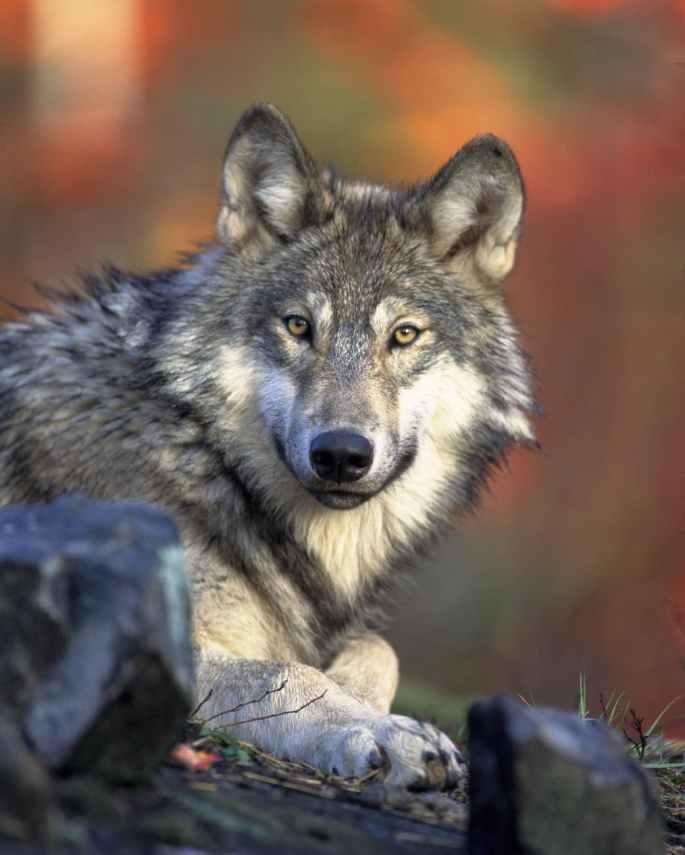 nature-animal-wolf-wilderness.jpg