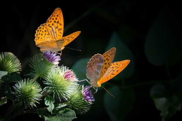 silver-bordered-fritillary-butterfly-nature-orange.jpg