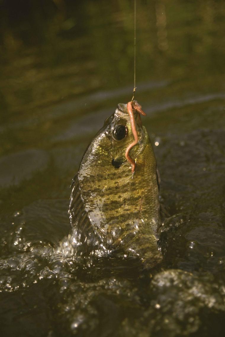 Bluegill_fish_caught_on_a_hook_using_an_earthworm_lepomis_macrochirus